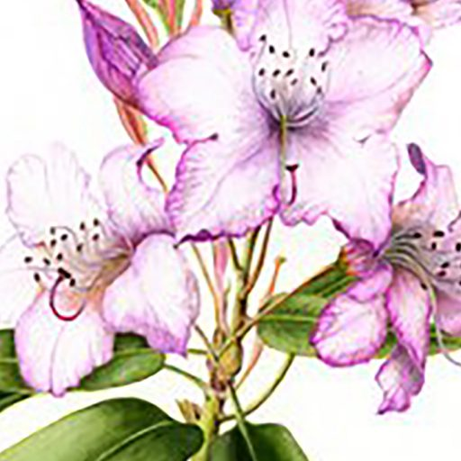 cropped-rhodedendron-cropped.jpg